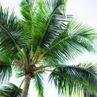 Cómo tratar los hongos que atacan las raíces de las palmeras
