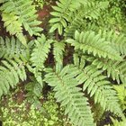 Japanese hollyferns grow to about 2 feet tall.