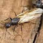 Como diferenciar cupins de formigas voadoras