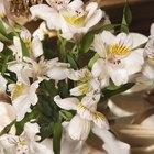 ¿Cuánto duran las orquídeas sumergidas en agua?