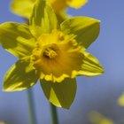 Description of a Daffodil