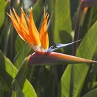How to Pollinate Bird of Paradise Flowers