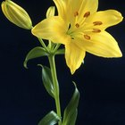 How to get fresh-cut lilies to open
