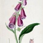 ¿Qué tan peligrosas son las plantas conocidas como dedaleras?