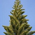 Leyendas comunes de los árboles de pino