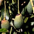 Los mejores fertilizantes para árboles de aguacate