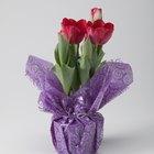 Cómo cuidar de los tulipanes que están en una maceta ya floreciendo y mantenerlos en casa todo el año