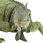 Como capturar iguanas verdes que escaparam