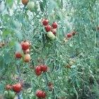 Cómo tratar la mosca blanca en los tomates