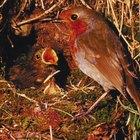 Cómo alimentar a un pájaro petirrojo