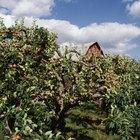 Las distancias ideales entre los árboles frutales