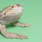 Sleeping Time Habits for Bearded Dragons