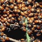 Armadilhas caseiras para moscas e joaninhas