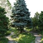 How to Kill a Fir Tree Stump