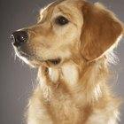 Cómo alimentar cachorros de raza labrador