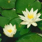 How to Grow Water Lilies in Pots