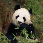 Datos sobre pandas en peligro de extinción