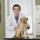 Dosis de penicilina para infecciones caninas
