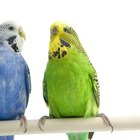 Safety for Budgie Parakeets