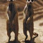 How to Make a Sculpture of a Meerkat