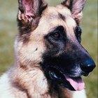 Que drogas os cães policiais podem sentir?