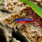 Information on Cardinal Tetras
