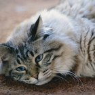 Treatments for Vomiting After Eating in Cats