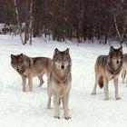 ¿Qué condiciones son necesarias para que un lobo se aparee?