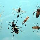 O que é um pequeno inseto preto em minha cama?