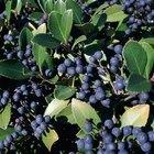 Berry Bearing Bushes