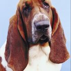 Bloat in Basset Hounds