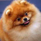 How to Train a 5-Year-Old Pomeranian