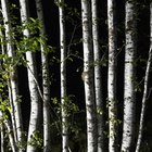 How to Kill a Silver Birch Tree