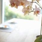 Cómo cultivar orquídeas a partir de esquejes