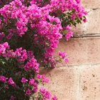 Bougainvillea boasts attractive flowers and blooms all year long.