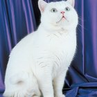 How to Adopt an Exotic Shorthair Cat
