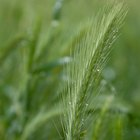 How to Get Rid of Ryegrass