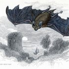 What Are the Adaptations of a Bat?