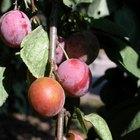 Como plantar sementes de ameixa