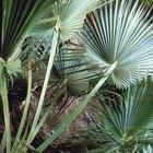 Como enraizar palmeiras