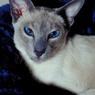 What Is the Expected Life Span of a Blue-Point Siamese Cat?
