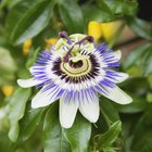 My Passionflower Is Wilting