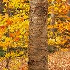 Beech Tree Growth Rate