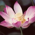 Cómo cultivar la planta del loto en una pecera