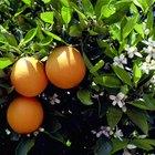 O que está fazendo com que as folhas de minha laranjeira fiquem enroladas?
