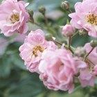 Que tipo de raízes as rosas têm?