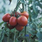 Tomatoes and potatoes are poor companion plants for one another and for peaches.