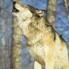 How to Whittle a Wolf From Wood