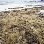 ¿Qué animales del bioma tundra alpina están en peligro?