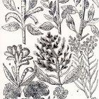 How to grow callaloo seeds